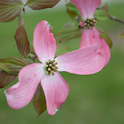 Flowering dogwood is a small deciduous tree growing to 10 m (33 ft) high, often wider than it is tall when mature, with a trunk diameter of up to 30 cm (1 ft). A 10-year-old tree will stand about 5 m (16 ft) tall. The leaves are opposite, simple, oval with acute tips, 6-13 cm long and 4-6 cm broad, with an apparently entire margin (actually very finely toothed, under a lens); they turn a rich red-brown in fall.