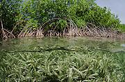 Red Mangrove (Rhizophora mangle)<br /> BONAIRE, Netherlands Antilles, Caribbean<br /> HABITAT & DISTRIBUTION:<br /> Florida, Bahamas, Caribbean, Gulf of Mexico south to Brazil.