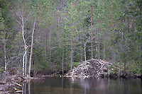 Lodge built by European beaver (Castor Fibor), Bergslagen, Sweden.