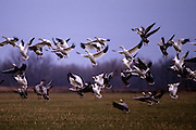 Snow & Blue Geese take off from field - Mississippi