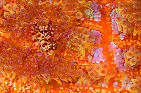 Coleman shrimp nestle among the highly venomous spines of their fire urchin host.