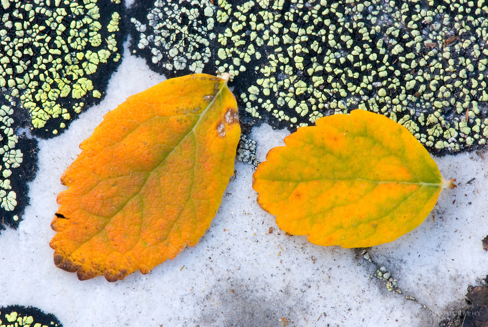 Willow leaves against Map Lichen (Rhizocarpon geographicum)