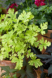 Scented leaved Pelargonium 'Charity' in a pot