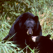 Black Bear, (Ursus americanus) Sow watches warily as cubs graze and play around her. Minnesota.