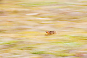 An arctic ground squirrel (Urocitellus parryii) races across the tundra towards the entrance to its den in the Skolai Pass area of Wrangell-St. Elias National Park, Alaska.