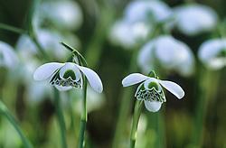 Galanthus 'Titania' - snowdrop