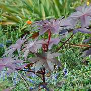 A pair of young Japanese maple taking in the autumn sun.  Fort Tryon Park, New York City