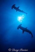 scalloped hammerhead sharks, Sphyrna lewini, Endangered Species, Darwin Island, Galapagos Marine Reserve, Galapagos Islands, Ecuador ( E. Pacific )