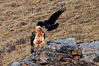 Bearded vulture also called Lammergeier sitting on the ground. Common raven, Corvus corax, tibetanus Gypaetus barbatus, Serxu, Garze Prefecture, Sichuan Province, China