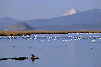 A bald eagle (Haliaeetus leucocephalus) at the Lower Klamath section of the refuge with tundra swans (Cygnus columbianus) in the background.  Tule Lake National Wildlife Refuge, California.  Noc 2002.