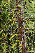 "Yellow lichen grows on a tree in Bugaboo Provincial Park, in the Purcell Range of the Columbia Mountains, British Columbia, Canada. Most tourists are attracted by nearby Canadian Rockies parks along fast paved highways and skip gravel logging roads, thereby leaving the spectacular ""Bugaboos"" as a quiet retreat for hikers, climbers, and luxury CMH helicopter guests. Directions: From Brisco (about 44 kms north of Invermere on Hwy 95), follow signs to Bugaboo Provincial Park and CMH Lodge on a gravel logging road. After 47 kms, turn right on a rougher road to reach Cobalt Lake trail head and Kain Hut trail head, or continue straight along Bugaboo Forest Service Road. Before you reach the gate of luxury CMH Bugaboo Lodge, a left turn crosses Bugaboo Creek bridge: then a left reaches Bugaboo Septet Recreation Site (4 primitive campsites in a free, user-maintained campground reachable by 2WD vehicles) or straight up takes 4WD vehicles and hikers to Chalice Creek trailhead."