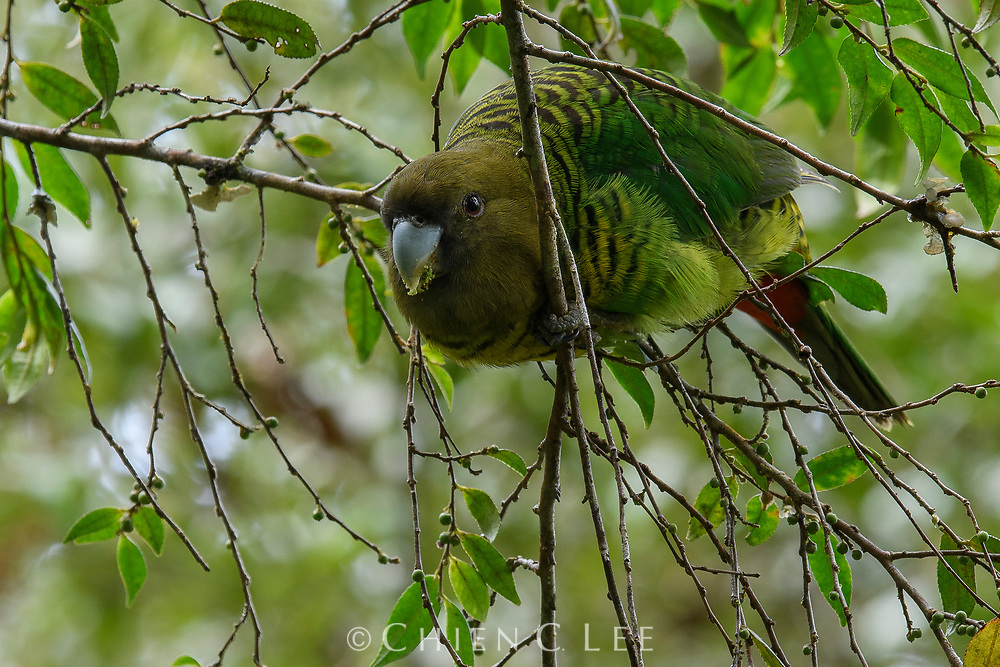 Brehm's Tiger-parrot (Psittacella brehmii). West Papua, Indonesia (New Guinea).