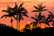 Sunset through silhouetted palm trees, Kona Coast, The Big Island, Hawaii USA