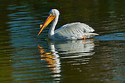 American white pelican (Pelecanus erythrorhynchos) <br /> Winnipeg<br /> Manitoba<br /> Canada