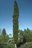 Italian Cypress Cupressus sempervirens (Cupressaceae) HEIGHT to 22m. Slender, upright evergreen with dense dark-green foliage. Usually columnar, but sometimes broadly pyramidal. BARK Grey-brown and ridged. BRANCHES Strongly upright and crowded, bearing clusters of shoots. Numerous young shoots arise from the leading shoots. LEAVES Dark-green, scale-like, no more than 1mm long; unscented. REPRODUCTIVE PARTS Small greenish-yellow male cones up to 8mm across grow on tips of side-shoots. Elliptical, yellowish-grey female cones, up to 4cm across, grow near ends of the shoots; they ripen brown. STATUS AND DISTRIBUTION Native of mountain slopes in S Europe and Balkans, east to Iran.