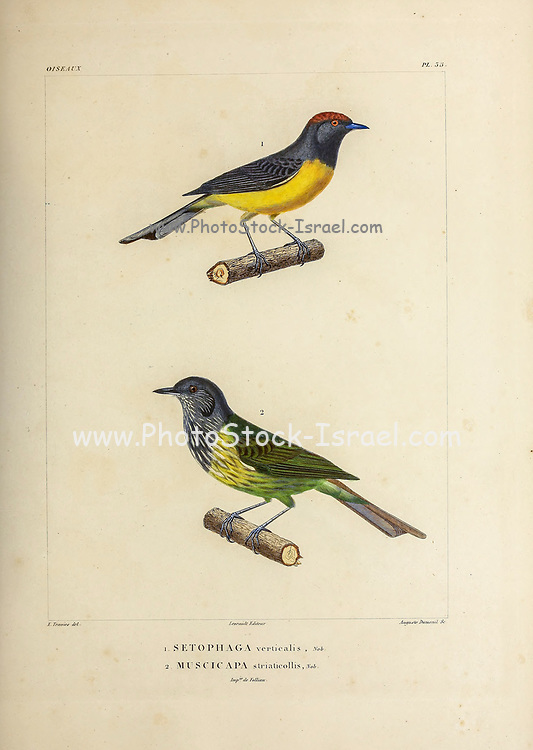 hand coloured sketch Top: slate-throated whitestart or slate-throated redstart (Myioborus miniatus [Here as Setophaga verticalis]) Bottom: streak-necked flycatcher (Mionectes striaticollis [Here as Muscicapa striaticollis ]) From the book 'Voyage dans l'Amérique Méridionale' [Journey to South America: (Brazil, the eastern republic of Uruguay, the Argentine Republic, Patagonia, the republic of Chile, the republic of Bolivia, the republic of Peru), executed during the years 1826 - 1833] 4th volume Part 3 By: Orbigny, Alcide Dessalines d', d'Orbigny, 1802-1857; Montagne, Jean François Camille, 1784-1866; Martius, Karl Friedrich Philipp von, 1794-1868 Published Paris :Chez Pitois-Levrault et c.e ... ;1835-1847