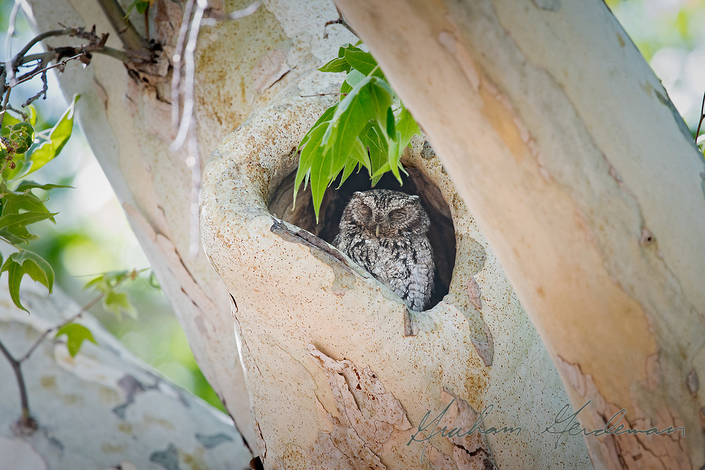 A Whiskered Screech Owl resting in a day roost in Southeast Arizona. <br /> <br /> Whiskered Screech Owls have a very limited range in southern Arizona and New Mexico, usually a higher elevations than Western Screech Owl. Most of the Whiskered Screech Owls live year round in Mexico.