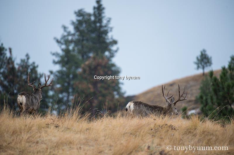 mule deer bucks walking away on grass ridge