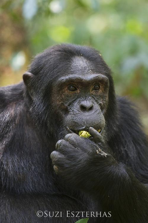 Chimpanzee<br /> Pan troglodytes<br /> Alpha male eating fruit thought to be medicinal (Warburgia ugandensis)<br /> Kibale Forest National Park, Uganda
