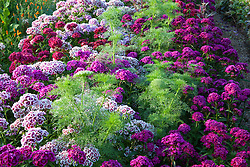 Dianthus barbatus 'Electron Auricula-eyed Mixed' (Sweet William) with Dianthus barbatus 'Oeschberg' and Ammi visnaga in the cutting garden