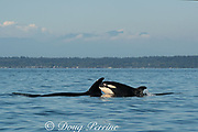 transient orca or killer whale, Orcinus orca, porpoising out of the water in the Salish Sea, between the San Juan Islands, Washington, United States and the Gulf Islands off the east coast of Vancouver Island, British Columbia ( BC ), Canada