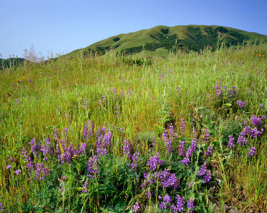 Lupine and Black Mountain, Nicacio, Marin County, California