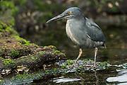 Lava Heron (Butorides sundevalli)<br /> Puerto Egas, Santiago Island<br /> Galapagos<br /> Ecuador<br /> South America