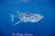 whale shark, Rhincodon typus, Endangered Species, off Ningaloo Reef, Western Australia ( Indian Ocean )