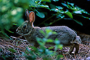 Cottontail rabbit in forest - Mississippi
