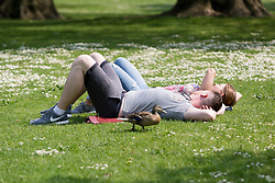 © Licensed to London News Pictures. 12/05/2016. LONDON, UK.  A duck walks past a couple relaxing on the grass during warm sunny weather in St James's Park at lunchtime.  Photo credit: Vickie Flores/LNP