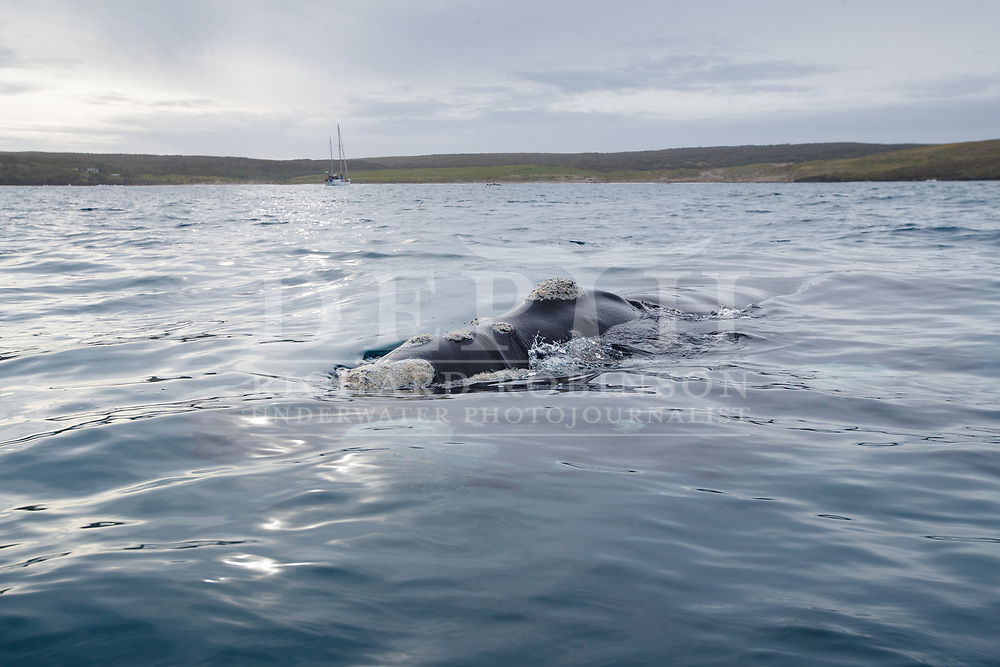 Tohora - Eubalaena australis (Southern Right Whale) expedition at Port Ross in the subantarctic Auckland Islands, New Zealand.<br /> Photograph Richard Robinson © 2021.<br /> Rights managed image. No Reproduction without prior written permission.