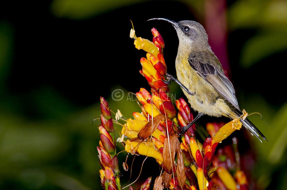 Sunbird (Cinnyris sp.), possibly female of Variable Sunbird (C. venustus) from Fort Portale, Uganda.