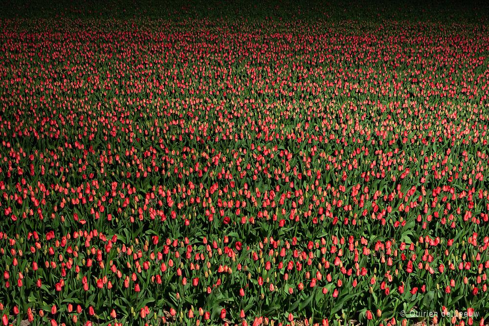 Tulpenveld in de bollenstreek, verlicht door straatverlichting