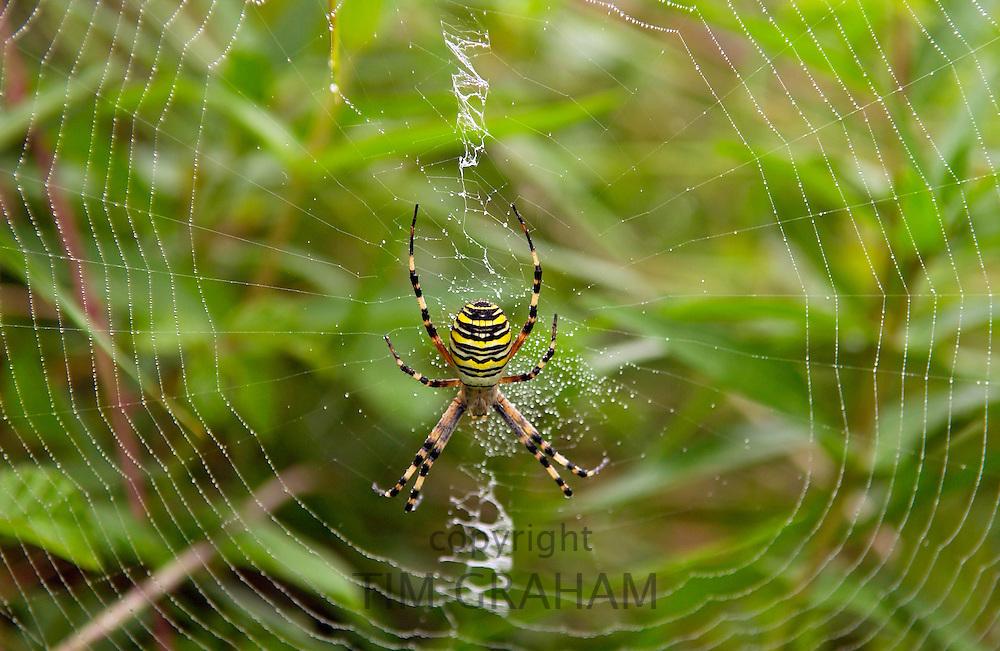 Wasp spider, Argiope bruennichi, spinning a dew- covered web