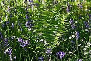 Bluebells and ferns, England