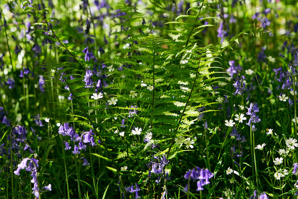 Bluebells and ferns, England