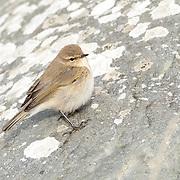 Rare & Scarce UK Birds