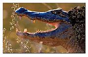 Caiman. Pantanal, Brazil.  Nikon D810, Sigma 150-600mm @ 600mm, f6.3, EV-2, 1/1600sec, Aperture priority