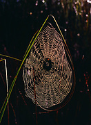 Dew-covered spider web encompassed by a blade of saw grass, Shark Valley, Everglades National Park, Florida.