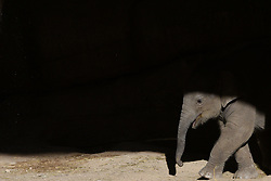 June 7, 2017 - Madrid, Spain - The baby female elephant pictured at Madrid zoo. (Credit Image: © Jorge Sanz/Pacific Press via ZUMA Wire)