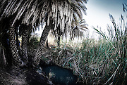 Palm trees grow in a desert Oasis