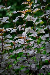 The dark foliage of Physocarpus opulifolius 'Diabolo' syn. Physocarpus opulifolius 'Monlo' - Ninebark