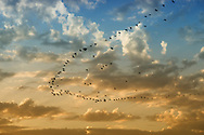 A flock of birds flight in a cloudy sky at Lac Naila, Morocco.