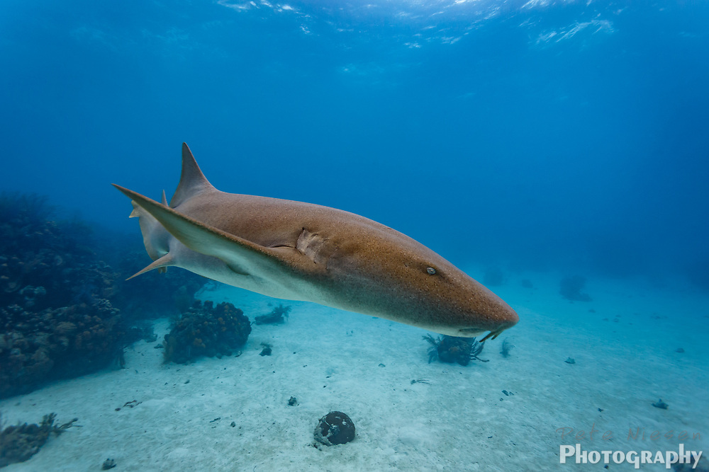 Brown nurse shark Ginglymostoma cirratum, patrolling coral reef