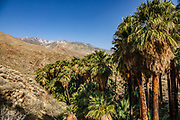 """The San Jacinto Mountains rise above the world's largest California Fan Palm oasis, along the Palm Canyon Trail, a great """"tour de fronds."""" We hiked the Palm Canyon Trail to Indian Potrero Trail to Stone Pools, and looping back via Victor Trail, in the Indian Canyons, Palm Springs, California, USA. The Indian Canyons are the ancestral home of the Agua Caliente Band of Cahuilla Indians. California fan palms (Washingtonia filifera in the palm family Arecaceae) are native to the far southwestern United States and Baja California. Today's oasis environment was protected from a drying climate, restricting this cold-tolerant palm to widely separated relict groves."""