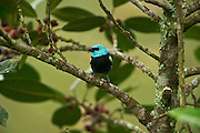 Blue-necked Tanager (Tangara cyanicollis)<br /> Mindo<br /> Cloud Forest<br /> West slope of Andes<br /> ECUADOR.  South America<br /> HABITAT & RANGE: Subtropical or tropical moist lowland and moist montanes, and heavily degraded former forest. Bolivia, Brazil, Colombia, Ecuador, Peru, and Venezuela.