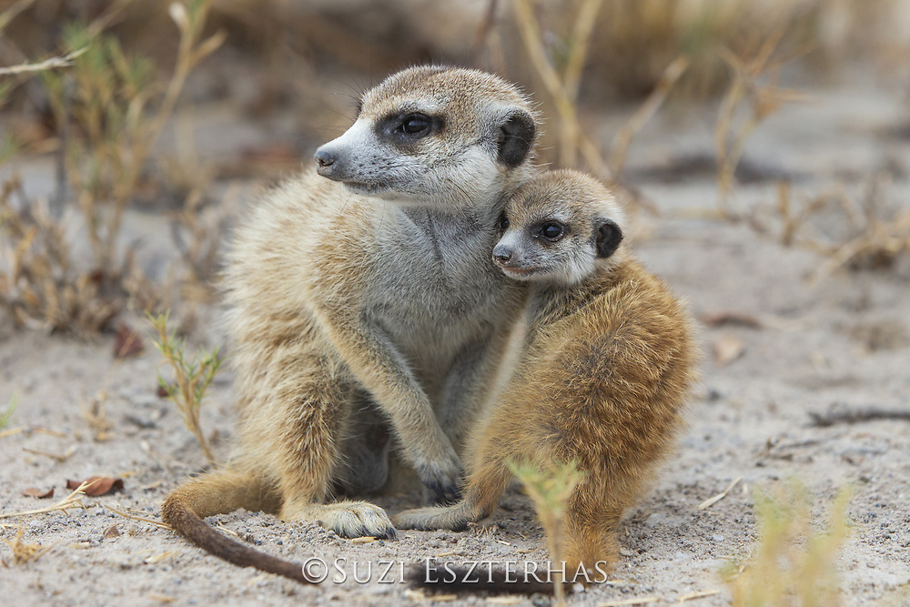 Meerkat<br /> Suricata suricatta<br /> Juvenile and six-week-old pup<br /> Makgadikgadi Pans, Botswana