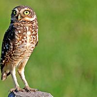 South America, Brazil, Pantanal.  The Burrowing Owl in the Pantanal.