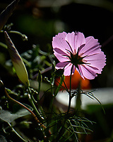 Pink Cosmos flower. Autumn Backyard Nature in New Jersey. Image taken with a Fuji X-T2 camera and 100-400 mm OIS telephoto zoom lens.