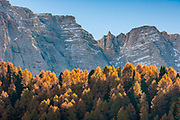 Tamarack trees (Larix species), October, afternoon light, Dolomite Mountains, South Tyrol, Italy